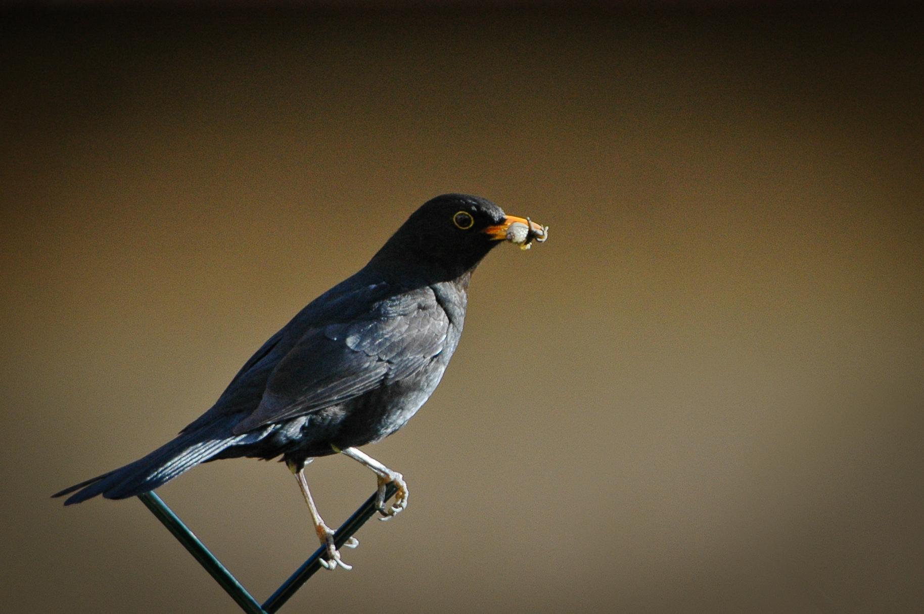 Oiseaux for Oiseau noir bec orange