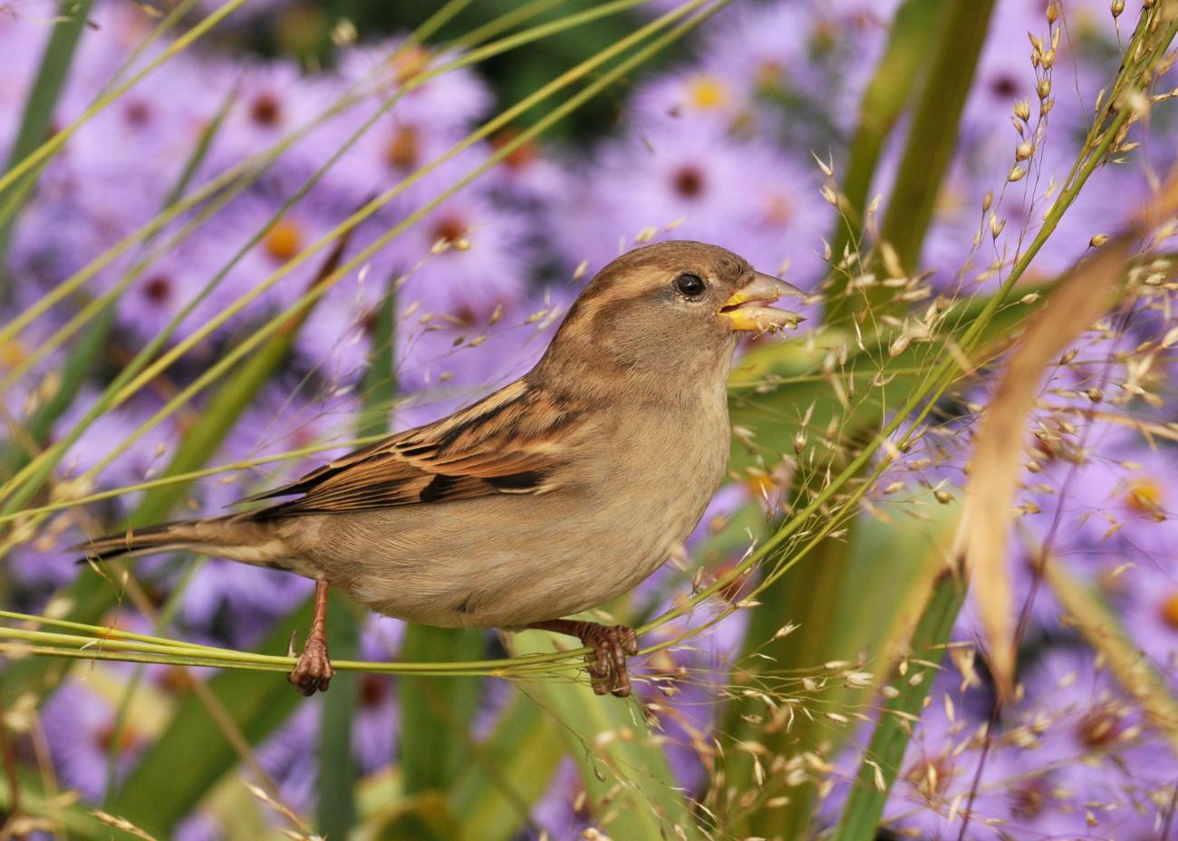 Oiseaux for Oiseaux des jardins