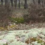 Lichens sur le sol d'une clairière. Tous droits réservés, Marion pour Honua
