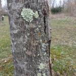 Lichens sur le tronc d'un arbre. Tous droits réservés, Marion pour Honua