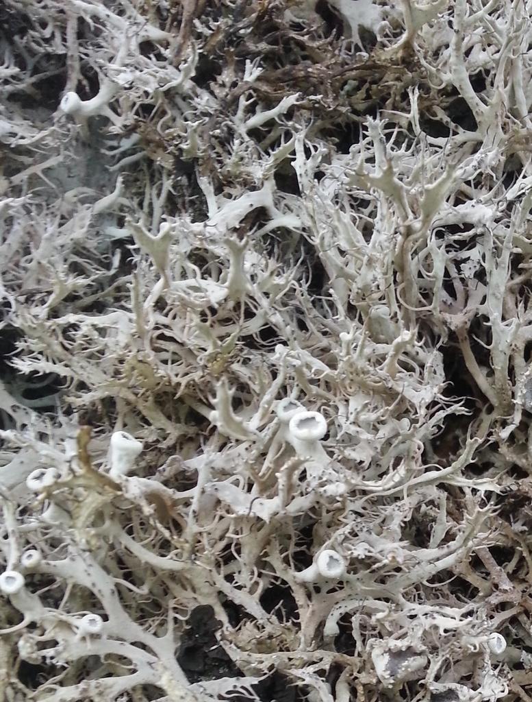 Détails d'un lichen dont les bords sont ciliés. Tous droits réservés, Marion pour Honua