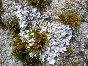 Lichen foliacé gris sur un rocher (attention, en vert, il s'agit d'une mousse et non d'un lichen!). Tous droits réservés, Marion pour Honua