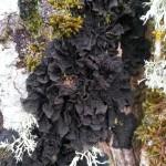 Lichen noir sur un tronc. Tous droits réservés, Marion pour Honua