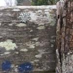 Lichens sur un panneau en bois. Tous droits réservés, Marion pour Honua