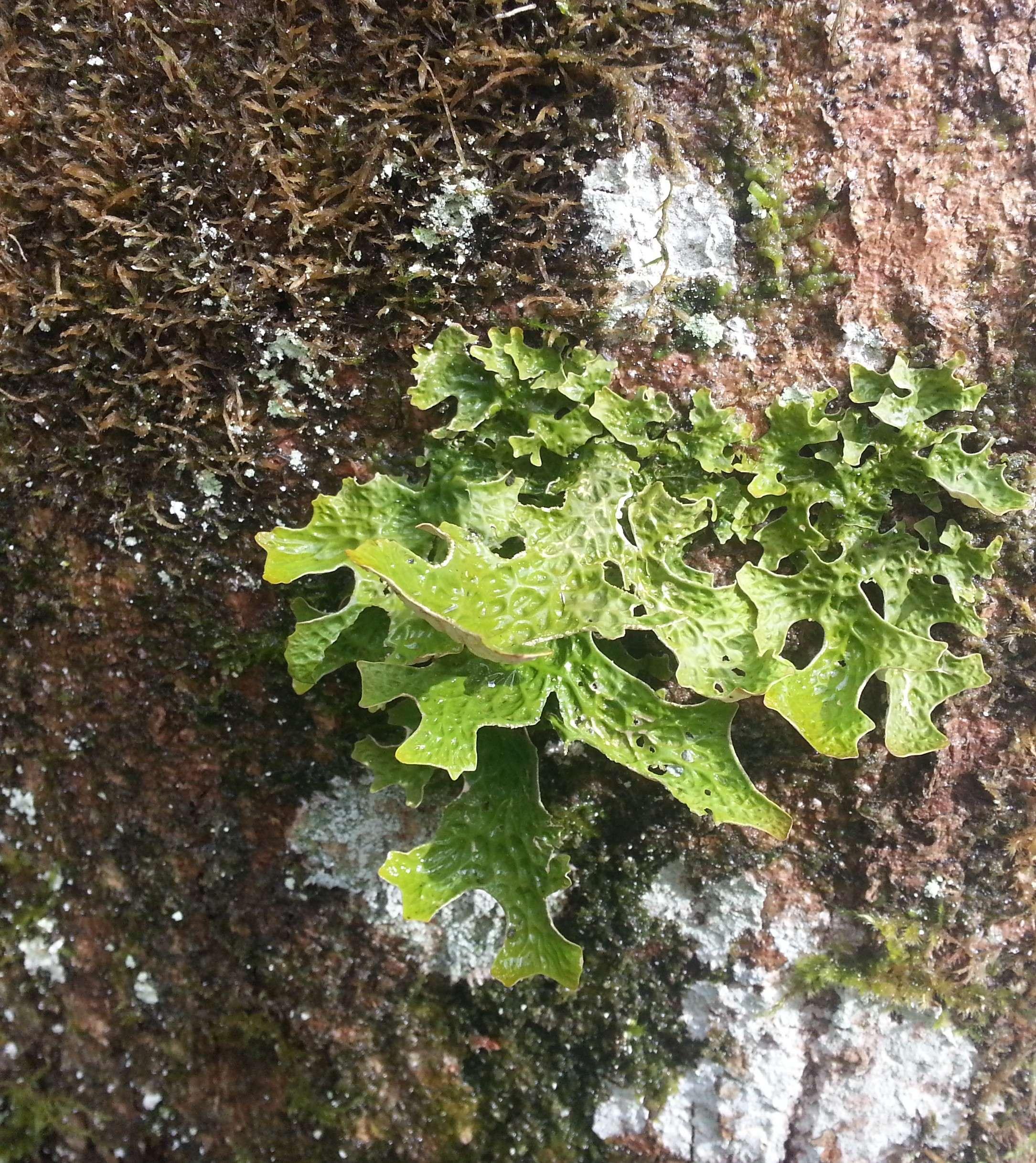 Lichen vert sur un tronc en forêt. Tous droits réservés, Marion pour Honua