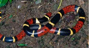 Aquatic coral snake 2