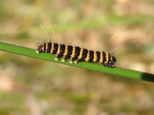 Chenille du papillon goutte-de-sang Image : Wikimedia commons