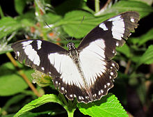 Mocker_Swallowtail,_top_side
