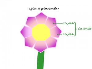 Voici un petit schéma pour t'expliquer ce qu'est une corolle © Eline Susset