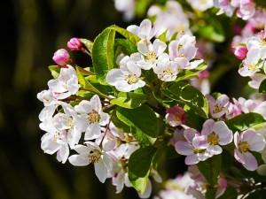 Fleurs de pommier Image : Pixabay